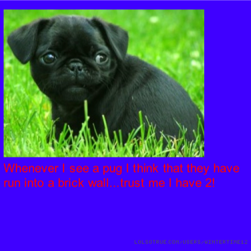 Whenever I see a pug I think that they have run into a brick wall...trust me I have 2!